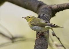 Wood Warbler (Gary Faulkner's wildlife photography) Tags: woodwarbler kentbirds