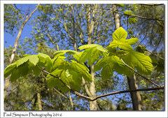 New Leaves (Paul Simpson Photography) Tags: trees nature leaves sunshine forest woodland leaf spring woods forests naturalworld scunthorpe newgrowth newleaves naturephotos photosof imageof photoof imagesof viewsof photosofnature sonya77 paulsimpsonphotography april2016 spring2016