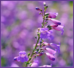Penstemon Bokeh (tdlucas5000) Tags: flowers flower tongue closeup beard purple bokeh wildflowers penstemon sigma105