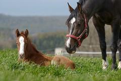 Mutterliebe (Heiko Schneemann) Tags: pferde foal fohlen lifeiscrazy
