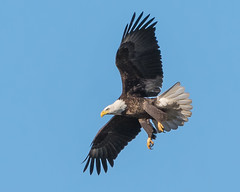 Attack Mode... (ragtops2000) Tags: blue sky food flying wing baldeagle diving iowa vision mature ready exciting talons attackmode lakemanawa
