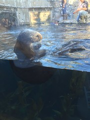 Otters (aka Sea Cats) (sarahswandive) Tags: monterey acquarium otters