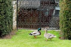 Barnsdale Hall Family Fun Day Rutland 2016 Photographs Ducks (@oakhamuk) Tags: family hotel funday photographs rutland rutlandwater 2016 barnsdalehall martinbrookes