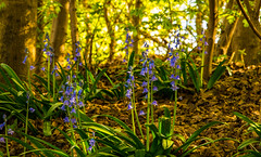 Right Under My Nose (williamrandle) Tags: uk blue light bluebells landscape spring nikon shadows dof outdoor depthoffield shade wildflowers springflowers woodlandflowers d7100 greenengland tamron2470f28vc spring2016