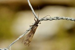 stone fly (Suzie Noble) Tags: field fence garden insect stonefly strathglass struy