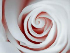 123/366 (Garen M.) Tags: flowers white vortex macro flora swirl macrophotography olympusomdem1 zuiko60mmf28macro