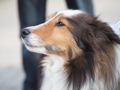 P5020682 (mina_371001) Tags: dog pet cute animal japan sapporo hokkaido photographywork olympusomdem10