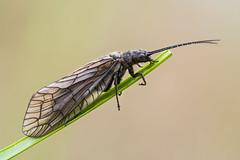 Sialis lutaria (Prajzner) Tags: macro nature insect poland naturallight stack manfrotto insecta sigma105mmmacro focusstacking sialislutaria photonature subcarpathia macrodreams nikond7100 velbonmagslider prajzner manfrottomt190xpro3