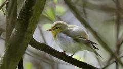 Wood Warbler (jaytee27) Tags: woodwarbler phylloscopussibilatrix