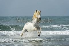 40080591 (wolfgangkaehler) Tags: ocean sea horses horse white france beach water animal french europe mediterranean european running behavior stallion camargue southernfrance galloping 2016 camarguehorses