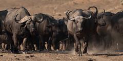 SK7_6219 (glidergoth) Tags: park south safari national zambia waterbuffalo luangwa mfuwe bubalusbubalis