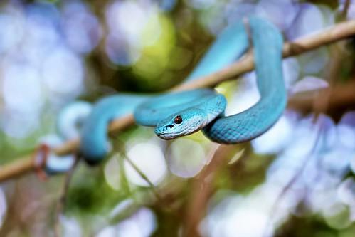 Blue Phase White lipped island pit viper (Trimeresurus insularis)