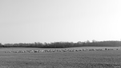 Herd (Gi_shi) Tags: bw italy panorama landscape nikon italia bn piemonte piedmont bnw biancoenero pecore oleggio novara gregge nikonitalia iamnikon d7200