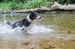 Lara taking off (mcvmjr1971) Tags: travel dog beach brasil swim fun 50mm nikon collie play sopaulo border joy run cachorro viagem litoralnorte sosebastio barradouna f18d lensnikkor d7000 mmoraes
