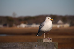 gull (DML0mba) Tags: bird capecod seagull gull yarmouth herringgull seagullbeach kapechick