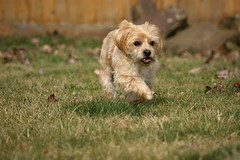 Bo On The Move (btn1131 www.needGod.com) Tags: dog pet pets playing dogs nature animals moving running therapydog sonya390