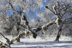 A Branch in Winter Wonderland (winkler.roger) Tags: winter nature germany landscape blackforest freudenstadt kniebis