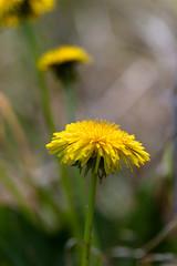 Fleur jaune de pissenlit en fort tropicale (zambaville) Tags: macro fleur jaune canon eos is usm fort proxy flore tropicale f28l ef100mm lesquelin 5dsr