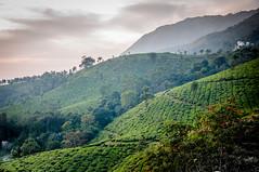 Tea plantations in Munnar (PicsofAB) Tags: sunset india mountain field landscape tea outdoor hill scenic kerala mountainside rollinghills munnar warmcolors teaplantations d90 nikond90 munnarkerala
