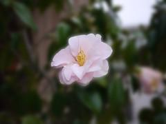 OPC 060116 032 (Jusotil_1943) Tags: flores desenfoque camelia selectivo opc060116