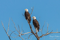 January 3, 2016 - A pair of Bald Eagles in Adams County. (Tony's Takes)
