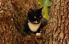Big Oak Small Cat   --   L1090304 (mshnaya) Tags: camera leica pet white black tree cat photo oak feline chat flickr foto candid kitty fork tuxedo gato neko katze  kittie