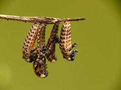 KV_08 (naddi.frey) Tags: kfer coleoptera chrysomelidae larven chrysomela polyphaga blattkfer gefleckter weidenblattkfer vigintipunctata