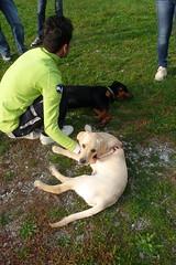 Stanchi (DanielOssino_EducatoreCinofilo) Tags: garden puppy labrador rottweiler retriever class tired giardino cucciolo stanchi cuccioli puppyclass stanco