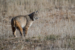 Bobcat (fascinationwildlife) Tags: california winter wild usa male nature animal america mammal feline wildlife natur central rufus valley elusive bobcat lynx luchs rotluchs
