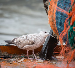 West Bay, Dorset (dorsetpeach) Tags: winter sea england bird net golden coast fishing seagull gull cliffs meal dorset fishingboat jurassic worldheritage westbay fishingnet herringgull westdorset