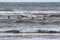 Oystercatchers (NTG's pictures) Tags: sea shells cormorants bay harbour gulls pebbles bae rhyl oystercatchers kinmel cinmel