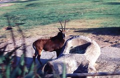 Oryx in zoo (Animal People Forum) Tags: animals outside zoo outdoor antelope captive mammals oryx
