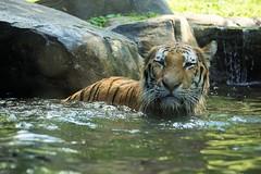 Cooling Off (greekgal.esm) Tags: newyork feline tiger bigcat bronxzoo siberiantiger amurtiger