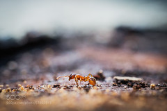 *** (hmbautista) Tags: red macro forest insect alone ant ants