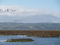 High spring tide at Parkgate (L-jay Nature) Tags: nature birds wildlife hightide wirral parkgate 2016dailyphotochallenge