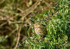 Hiding in the bush...Mr Thrush (Karen Antcliffe) Tags: bird berry berries song ivy thrush