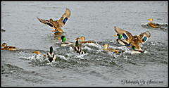 Ducks are so colorful during winter (Photography By Shaeree) Tags: ontario ice water birds duck nikon crystals crystal ducks icecubes frozenwater waterbirds trenton quinte ontariocanada d90 quintewest waterfowel trentonontariocanada nikond90 trentonontario quintewestontario