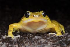 Black mountain boulder frog (Etienne Littlefair Photography) Tags: animals australia frog frogs queensland amphibians herp herps vertebrate herpetology vertebrates anura amphibia vertebrata salientia anuran microhylidae cophixalussaxatilis cophixalus blackmountainnurseryfrog
