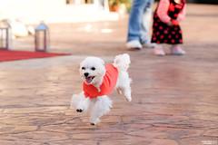 TinTin (lscott200) Tags: life travel dog spring taiwan  fujifilm    nantou 2016 xt1 xf90mmf2rlmwr
