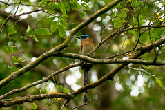 Blue-crowned Motmot (front) (katepowellphotography) Tags: bird nature ecology costarica wildlife conservation ornithology motmot bluecrownedmotmot conservationphotography