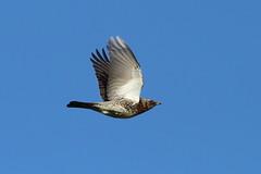 Fieldfare flyby (Robin M Morrison) Tags: flying somerset flyby fieldfare