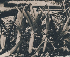 (the matt1) Tags: toned cyanotype