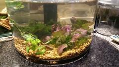 20160206_210545 (mobile_gnome) Tags: aquarium tank nano freshwater planted
