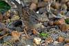 Thésée-la-Romaine (Loir-et-Cher) (sybarite48) Tags: france bird pássaro oiseau vogel pájaro uccello 鳥 kuş ptak loiretcher птица accenteur accenteurmouchet πουλί طائر théséelaromaine 禽流