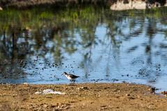 2015 dcembre, Voyage au Maroc (odileva) Tags: maroc oiseaux dcembre oualidia doukkalaabda chevalierguignetteactitishypoleucos