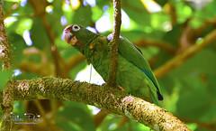 Puerto Rican Parrot (G_Plaza) Tags: birds fauna puertorico aves loro cotorra audubon birdlife audubons puertoricanparrot amazonavittata nikond7100 cotorrapuertoriquea