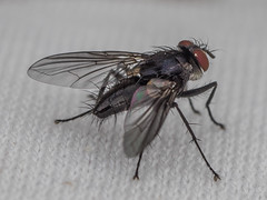 P2070714 (dokonal@ymail.com) Tags: macro bug insect fly olympus inseto omd em1 specinsect