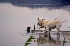 Ben & Sally - Jan 16 (Martina Morris ( Ireland) Thanks for over1,000,000) Tags: ireland winter lake dogs water weather fun outdoors jump play flood ben walk run images sally boyle dayout coroscommon boylecameraclub martinamorris martinasimpressionsofnature