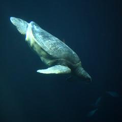 Green Sea Turtle Diving (Anders Magnusson) Tags: blue green water aquarium bay nikon turtle seaturtle cheloniamydas monteray openwater andersmagnusson
