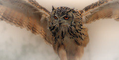Indra (Nickerzzzzz - Thanks for stopping by :)) Tags: bird nature wings eyes cornwall flight beak feathers photograph owl bengaleagleowl avian hornedowl screechowlsanctuary bubobengalensis indianeagleowl rockeagleowl ©nickudy